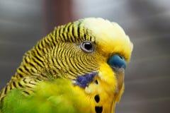1只澳大利亚绿色宏观鹦鹉 库存照片