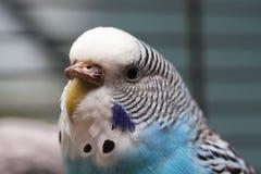 1只澳大利亚蓝色宏观鹦鹉 库存图片