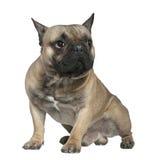 1只牛头犬法国半老坐的岁月 免版税库存照片