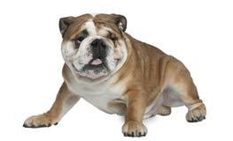 1只牛头犬英国半老坐的岁月 图库摄影