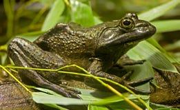 1只牛蛙 库存照片