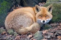 1只狐狸 免版税库存照片