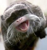 1只皇帝绢毛猴 免版税库存图片