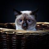 1只短尾的猫湄公河 免版税库存照片