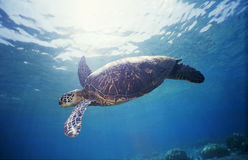 1只绿浪乌龟 免版税库存图片