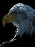 1只美国老鹰 免版税库存图片