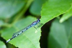 1只蓝色公用蜻蜓 免版税库存图片