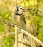 1只蓝色尖嘴鸟 免版税图库摄影