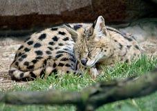 1只薮猫 免版税图库摄影
