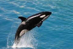 1只虎鲸 免版税库存图片