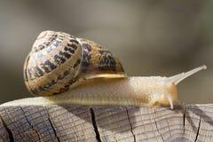 1只蜗牛 免版税库存图片