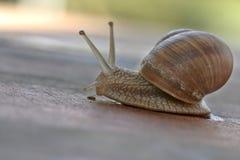 1只蜗牛 库存照片