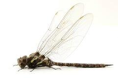 1只蜻蜓 免版税库存图片