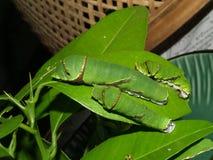 1只蝴蝶毛虫异乎寻常的泰国 免版税图库摄影