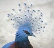 1只被加冠的鸽子维多利亚 免版税库存照片