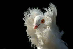 1只装饰鸽子 免版税库存照片