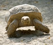 1只非洲被激励的草龟 库存图片