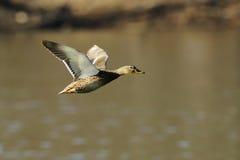 1只飞行野鸭 库存照片