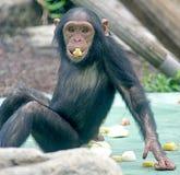 1只黑猩猩 库存图片