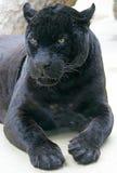 1只黑豹 免版税库存图片