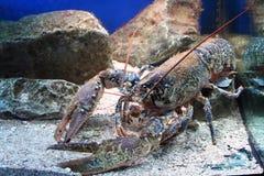 1只龙虾 库存图片