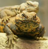 1只dabb蜥蜴撒哈拉大沙漠 库存图片