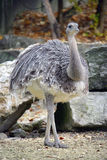 1只nandu驼鸟 免版税库存照片