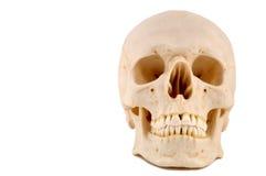 1块医疗模型头骨 免版税库存照片