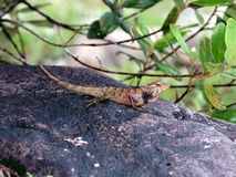 1块激昂的蜥蜴石头越南 免版税库存图片
