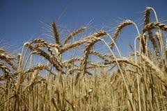 1域麦子 免版税库存图片