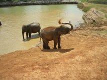 1大象孤儿院pinnawela 免版税图库摄影