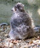 1头刚孵出的雏猫头鹰 图库摄影