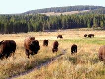 1头北美野牛水牛黄石 库存图片