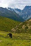 1头吃草的高地西藏人牦牛 库存图片