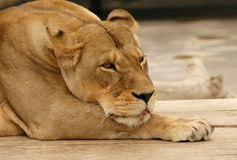 1头懒惰狮子 免版税库存照片