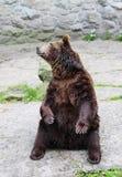 1头熊 免版税库存照片