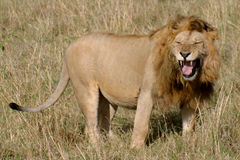 1头狮子 库存照片