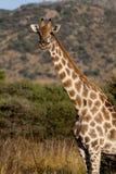 1头长颈鹿 库存照片