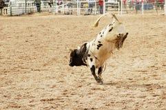 1头顽抗的公牛 免版税库存图片