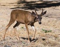 1头鹿 免版税库存图片