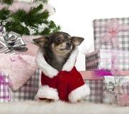1奇瓦瓦狗圣诞节礼品老年 免版税库存照片