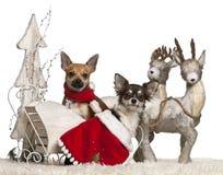 1奇瓦瓦狗圣诞节老雪橇年 图库摄影