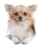 1奇瓦瓦狗头发的长的老年 库存图片
