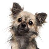 1奇瓦瓦狗接近的老年 免版税图库摄影