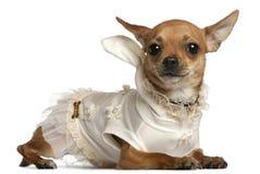 1奇瓦瓦狗礼服位于的老佩带的年 免版税库存照片
