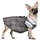 1奇瓦瓦狗礼服老格子花呢披肩佩带的年 免版税库存照片