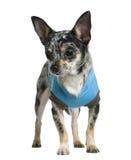 1奇瓦瓦狗穿戴了老绿松石年 免版税库存图片