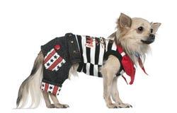 1奇瓦瓦狗穿戴的老常设年 免版税库存图片