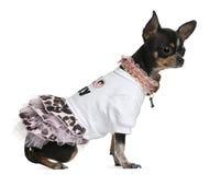 1奇瓦瓦狗穿戴的老年 免版税库存图片