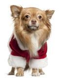 1奇瓦瓦狗老成套装备圣诞老人佩带的& 免版税库存图片